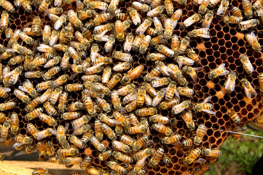 Africanized Honey Bee 2