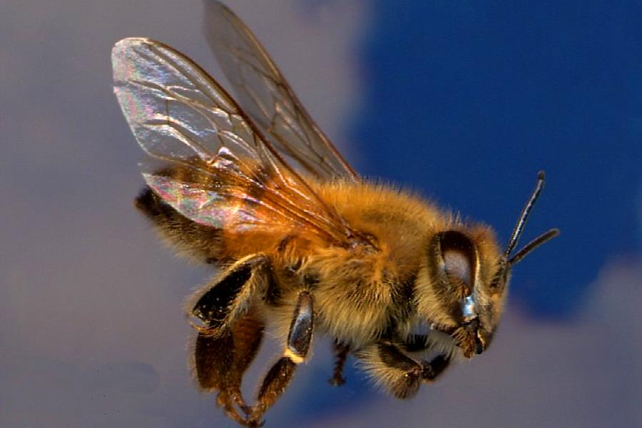 Africanized Honey Bee 3