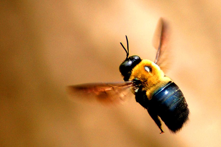 Carpender Bees 1