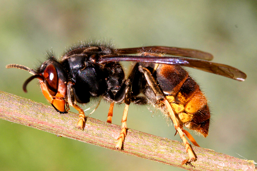 Hornets 1